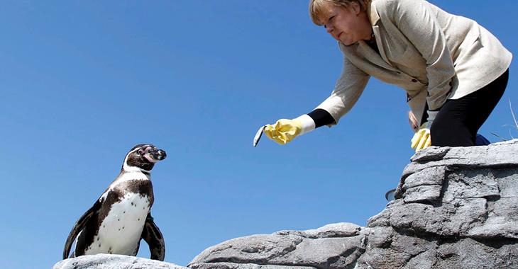 Angela Merkel trägt gelbe Gumminhandschuhe und streckt einem Pinguin einen Fisch hin © ddp images